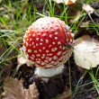 Close-up of fly agaric mushroom in a forest - Stock Photo