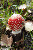 Close-up of fly agaric mushroom in a forest — Stock Photo