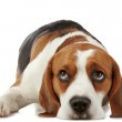 Beagle dog — Stock Photo #23387488