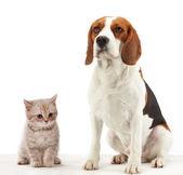 Sitting beagle dog — Stock Photo