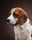 Portrait of young beagle dog — Stock Photo