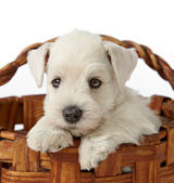 White schnauzer puppy — Foto Stock