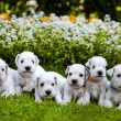 Stock Photo: White schnauzer puppies