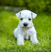 White schnauzer puppy — Stock Photo