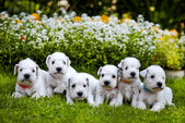 White schnauzer puppies — Stock Photo