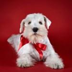 White miniature schnauzer puppy — Stock Photo
