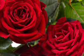 Roses rouges — Photo