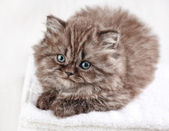 British long hair kitten — Stock Photo