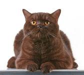 Brown british short hair cat — Stock Photo