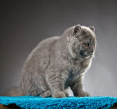 Portrait of british longhair kitten — Stock Photo