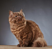 Brown british longhair kitten — Stock Photo