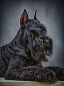 Cão preto schnauzer gigante — Foto Stock