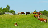 Herd of cows on the meadow — Stock Photo
