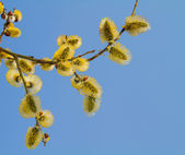 Blooming willow — Stock Photo