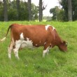Cow grazed on the meadow — Stock Video