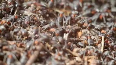 Ants building anthill — Stock Video