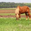 Horse on green meadow — Stock Video