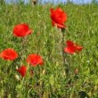 Stock Video: Poppy sways in wind
