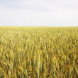 Wheat field — Video Stock