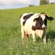 Stock Video: Cow eats grass