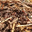 Stock Video: Ants building anthill, macro