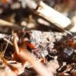 Ants building anthill, macro — Stock Video