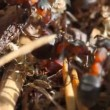Ants building anthill, macro - Stockfoto