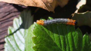 гусеница на зеленый лист макро — Стоковое видео