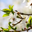 Apple tree blossom — Stock Video