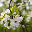 Apple tree blossom — Stock Video #22677177