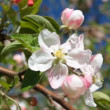 Stock Video: Apple tree blossom