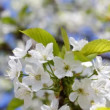 Apple tree blossom — Stock Video #22677263