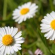 Stock Video: Spring daisies