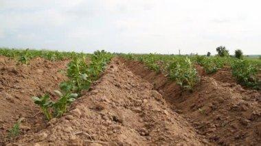Potato field — Stock Video