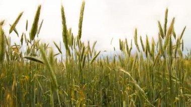 Wheat field, slider — Stock Video
