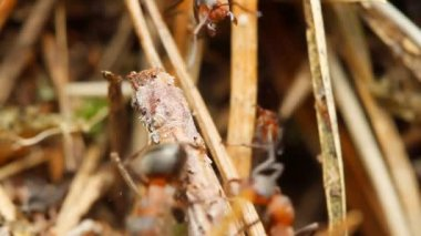 Ants in an anthill — Stok video