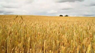 Golden wheat — Stock Video