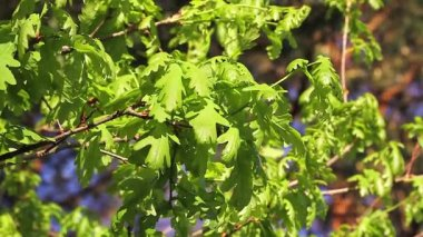 Young leaves of oak — Stockvideo