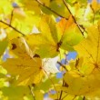 Yellow maple leaves, autumn — Stock Video