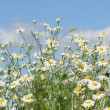 Stock Video: Daisies in a field