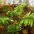 Stock Video: Fern in autumn forest
