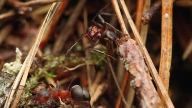 Ants in an anthill — Stock Video