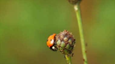 Ladybird on a flower — Stock Video