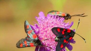 Butterflies Elcysma westwoodii, on a flower — Stock Video