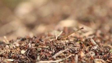 Ants — Stock Video