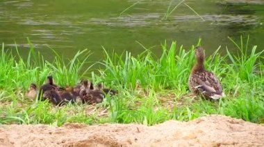 Mother duck with ducklings — Stock Video