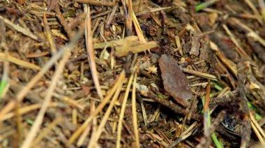 Karınca karıncalar — Stok video