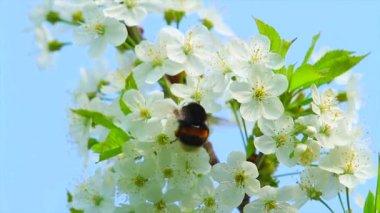 Шмель на цветы яблоко — Стоковое видео