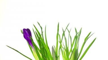 Crocus flowers on white, speed version timelapse — Stock Video
