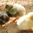 Newborn chicks — Stock Video